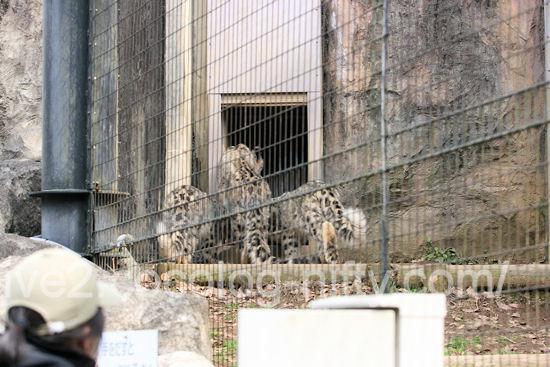 Snowleopard201203164