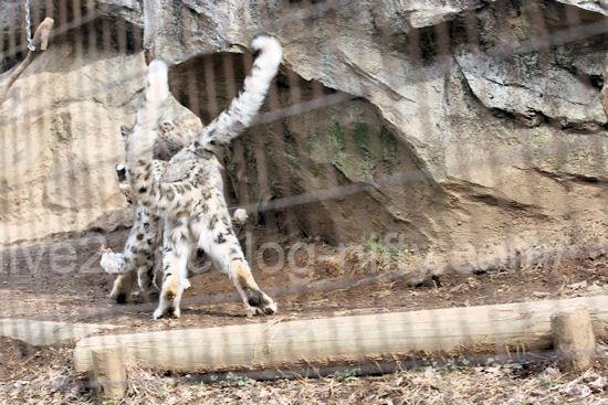 Snowleopard201203166