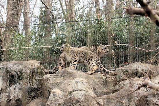 Snowleopard201203167