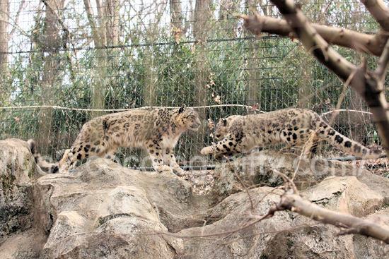 Snowleopard201203168
