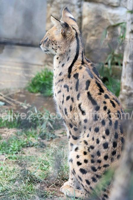 Serval20120316