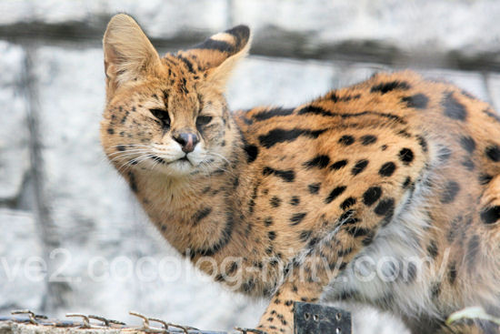 Serval201203161