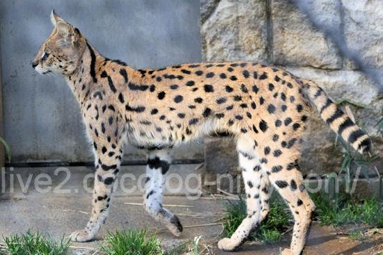 Serval201203162