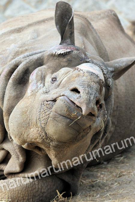 Rhino20120316