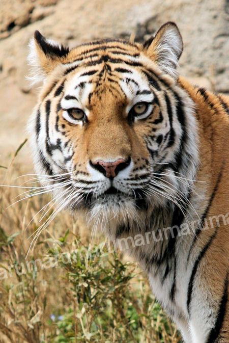 Tigershizuka20120316