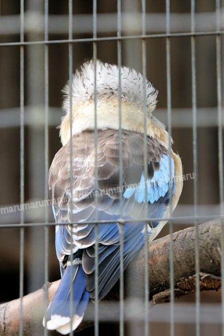 Kookaburra201203161