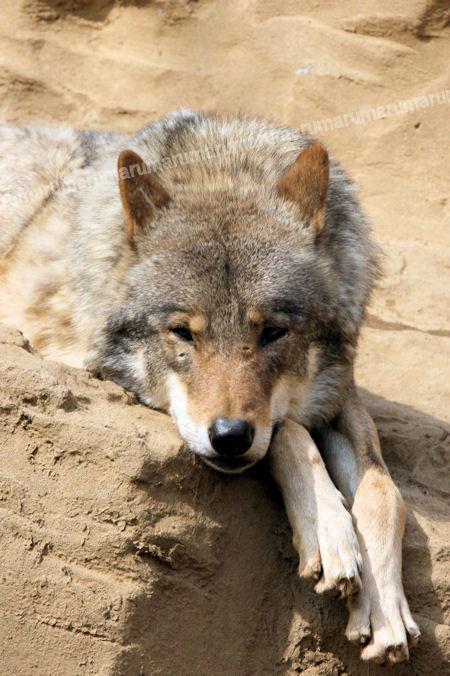 Wolf20120316