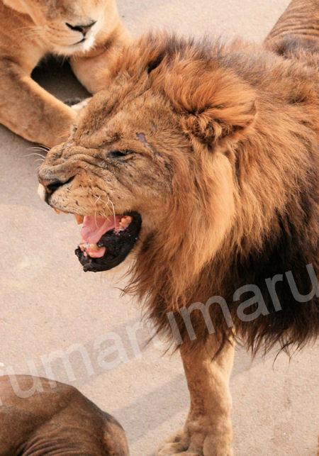 Lion201203161