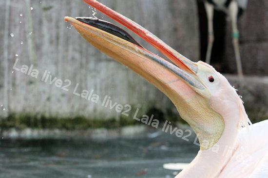 Pelican2011121510