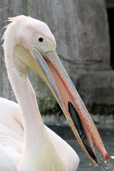 Pelican2011121512
