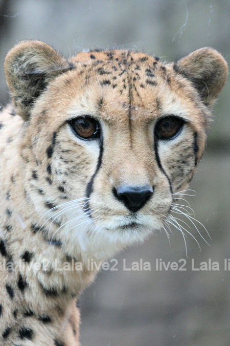 Cheetah20120316
