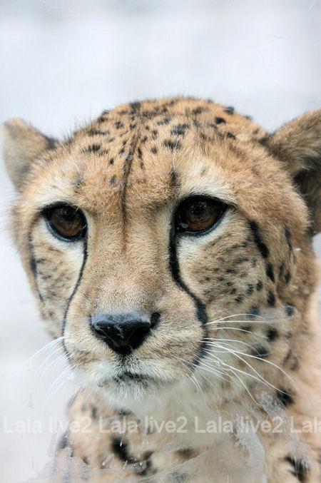 Cheetah201203161