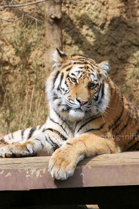 Tiger20120316