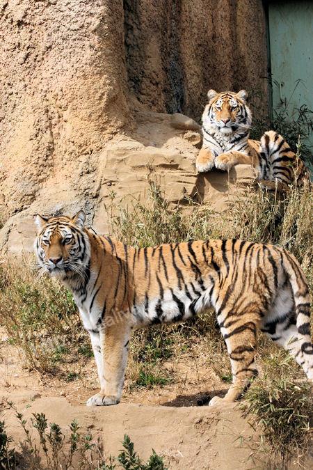 Tigers20120316