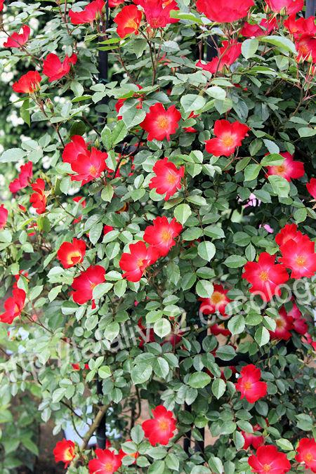 Rose20120513