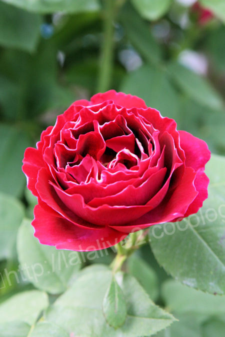 Rose20120513baron