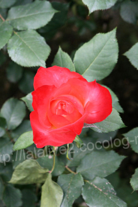 Rose20120513fruite