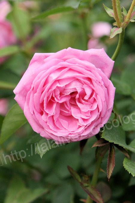 Rose20120513hermosa