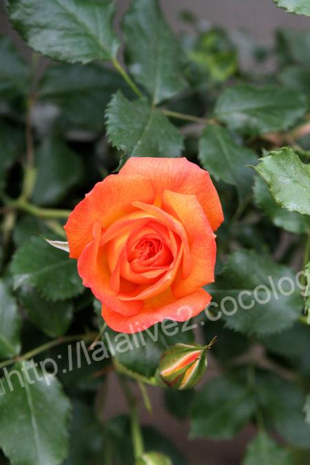 Rose20120513sahara1
