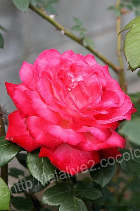 Rose20120513seika_2