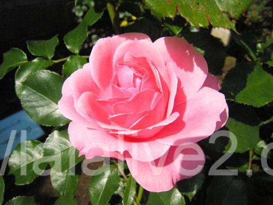 Royal_bonica20120516