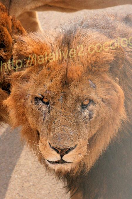 Lion201203162