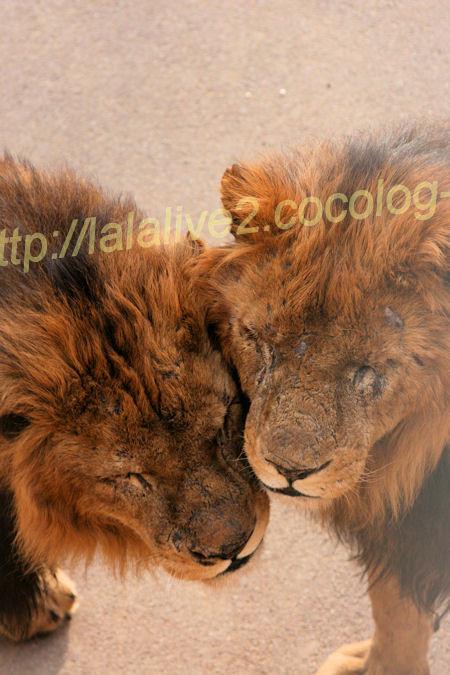 Lions20120316