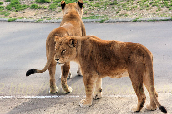 Lions201203162