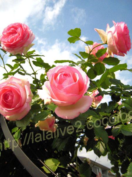 Roses20120523