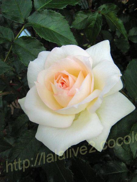 Roses201205231