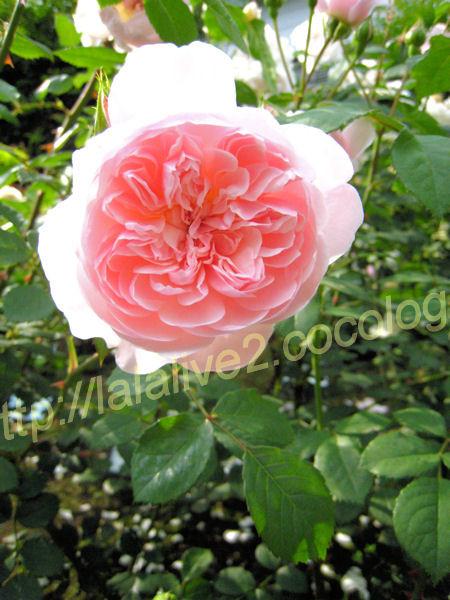 Roses201205233