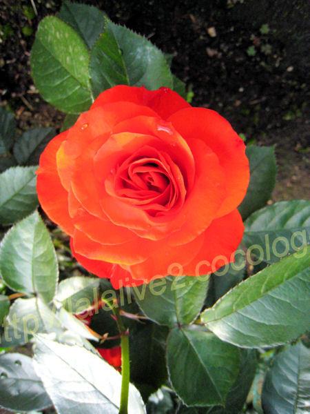 Roses201205234