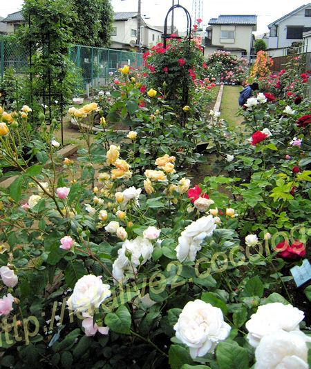 Roses201205235