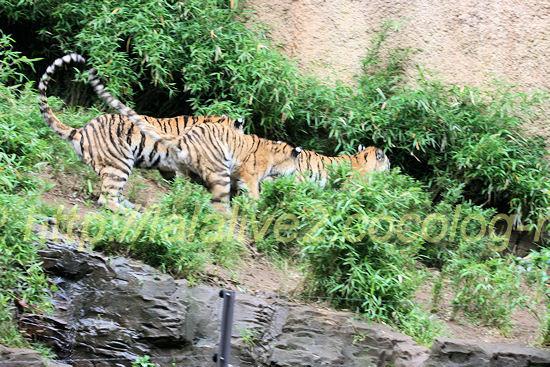 Tigers201205252