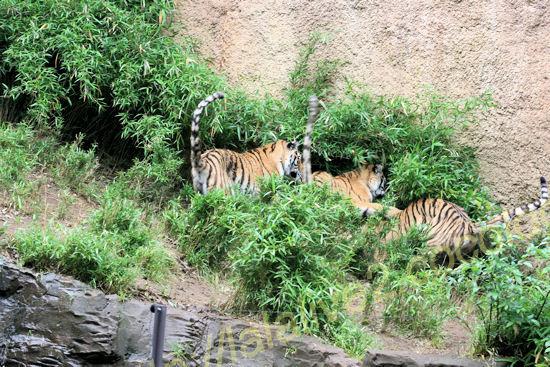 Tigers201205253_2