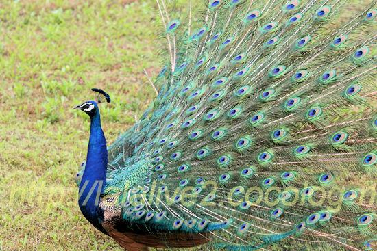 Peacock20120525