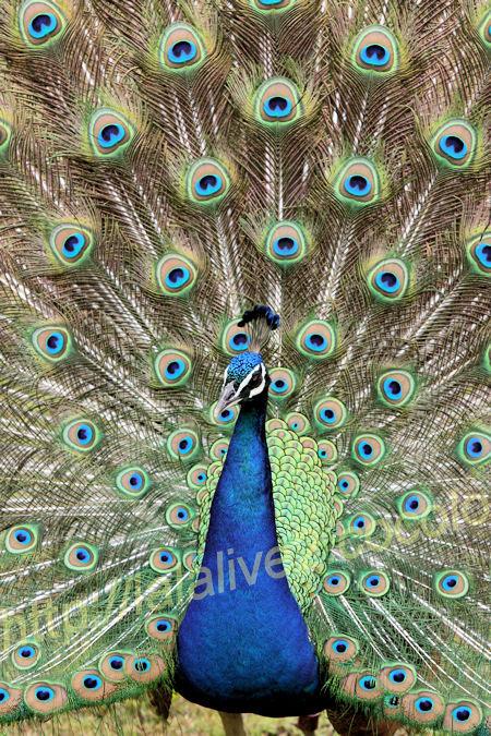 Peacock201205251_2