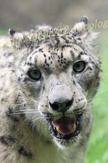 Snowleopard20120525