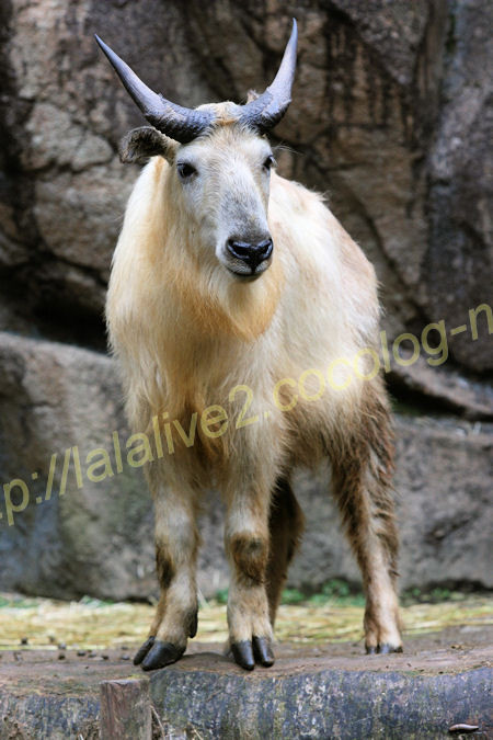 Golden_takin20120525