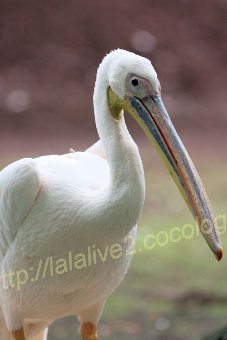 Pelican20120525