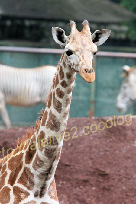 Giraffe20120525