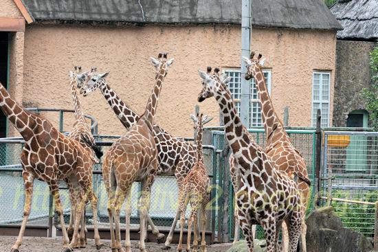 Giraffe201205251