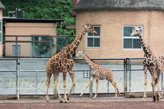 Giraffe201205252