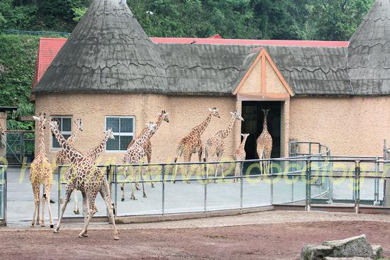 Giraffe201205253_2