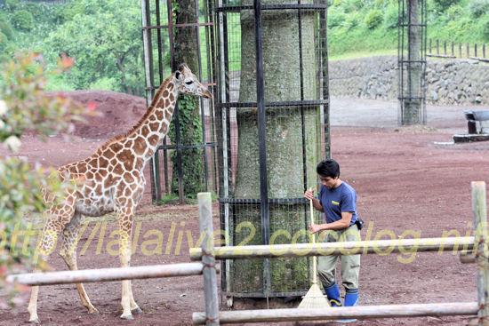 Giraffe201205254