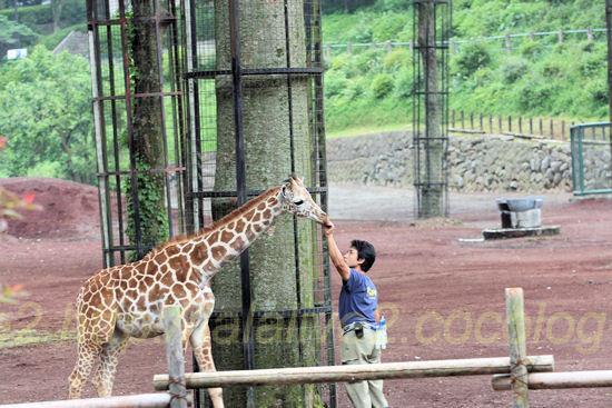 Giraffe201205255