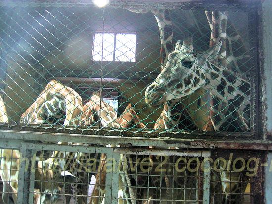 Giraffes20120525