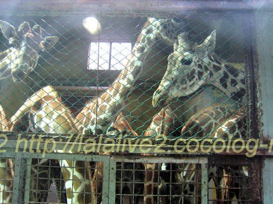 Giraffes201205251