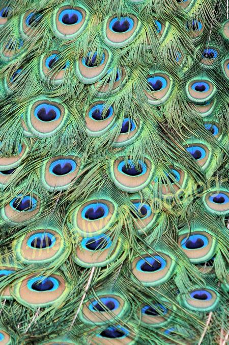 Peacock2012052510