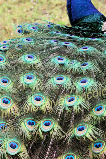 Peacock2012052511
